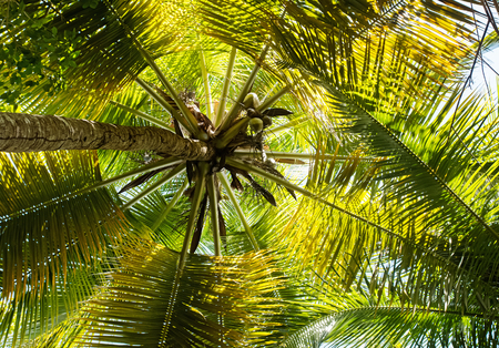the view from below: Crown of palm tree, view from below