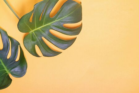 Big green natural monstera lant leaves on yellow background