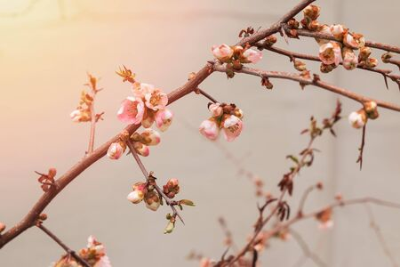 Branch with spring pink flowers close-up, Standard-Bild - 134852488
