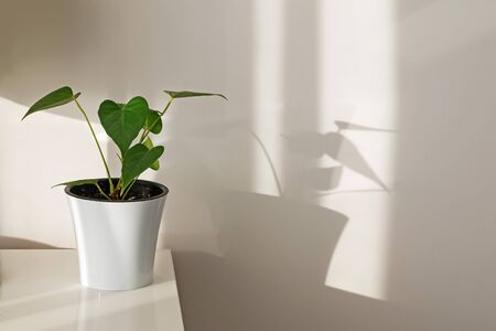 Green plant in white pot standing over the white wall in morning sunlight dropping shadows. Standard-Bild - 134851510