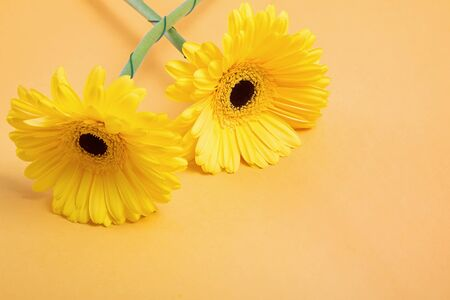 Two yellow gerbera flowes close-up