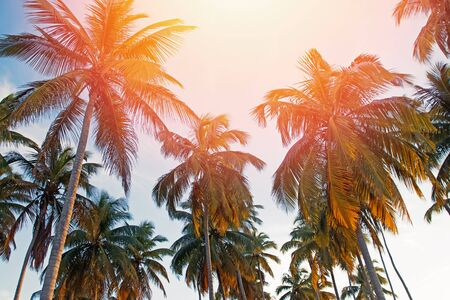 Big coconut palm trees on the clear sly backround,