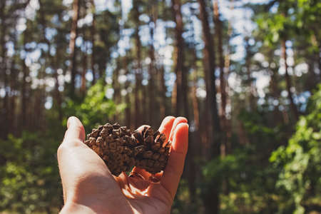 Hand holding pine cones close-up in the forest.