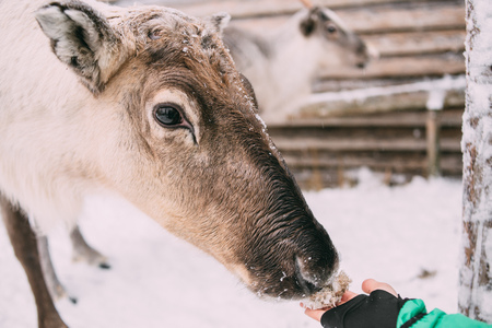 woman feeding deer on the snow winter day, background blurred