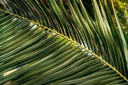 Textural background close-up of green palm tree branch. Horizontal photo, sunny day. Standard-Bild