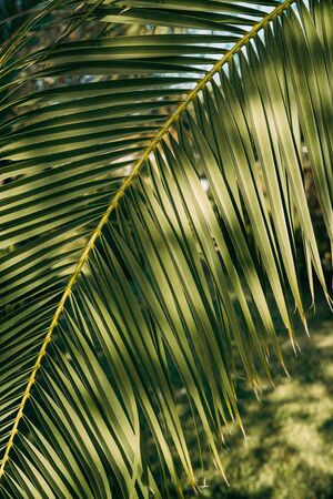 Close-up of leaves of sunny palm tree branch against the sky. Texture and background