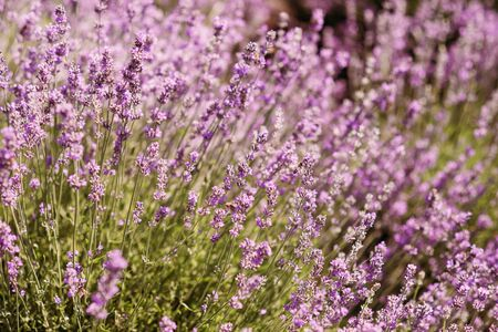 closeup bush lavender flower on a field on hills. Aromatherapy Lavender Paradise. Sunny day. Provence.