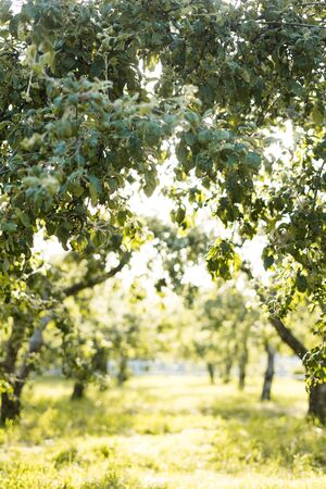 Alley of trees of young green apple trees on a warm sunny day. Standard-Bild