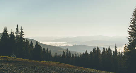 Morning mountain landscape. Tall pine trees and fog among the mountains.