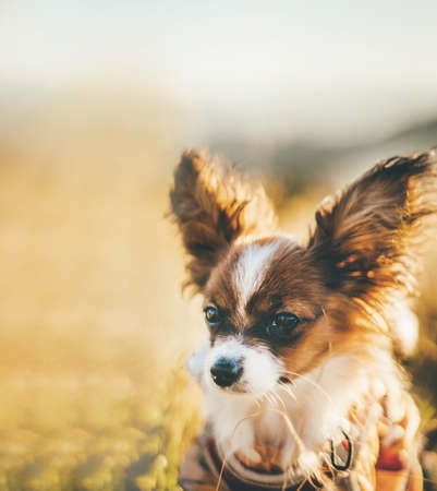 Close-up portrait of red papillon puppy with blurred background Standard-Bild