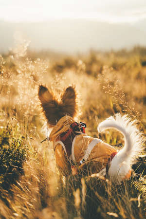 A blurry papillon puppy sits in the thick yellow grass and watches the dawn