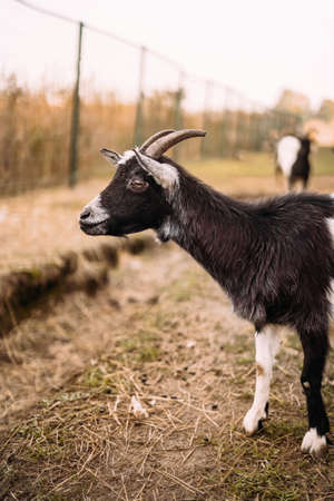 Portrait of a black-white goat with horns behind a fence. Side view. Agriculture