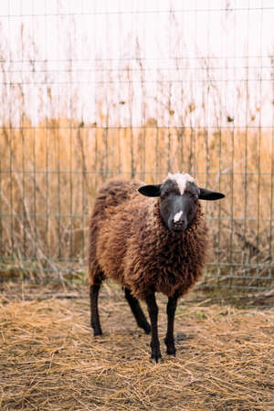 Portrait of a brown fluffy lamb standing in a corral next to a fence. Household, petting zoo