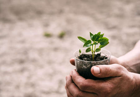 Close-up of an elderly man holding a seedling of a plant in a pot on a gray background. Caring for the environment. Spring, vegetable garden