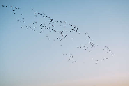 Clear blue sky in the morning at dawn and a flock of birds is flying.