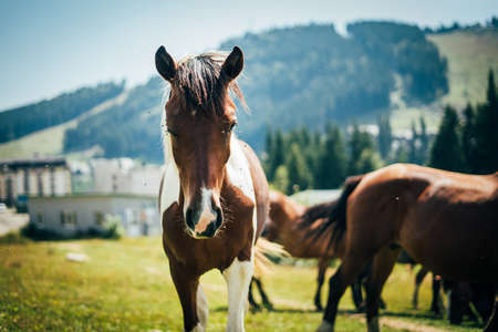 Close-up portrait of beautiful wild horse looking in to a camera grazing in the mountains in a meadow on a sunny day Standard-Bild