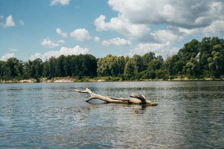 A beautiful snag of a tree floats in the river with a gorgeous view. Blue sky with clouds, calm river and forest on the shore