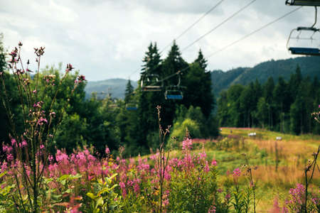 Blooming Rosa plants on the ski mountain in summer. The lifts and dense forest are visible in the background. The freshness of summer air in the mountains Standard-Bild