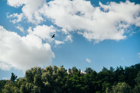 Beautiful bird flying in blue sky with clouds over green deciduous forest