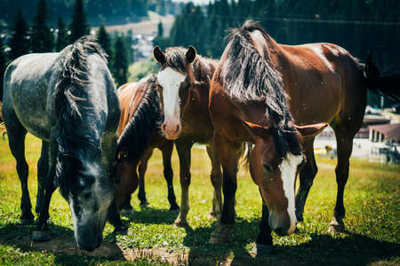 Close-up portrait of four beautiful wild horses grazing in the mountains in a meadow on a sunny day