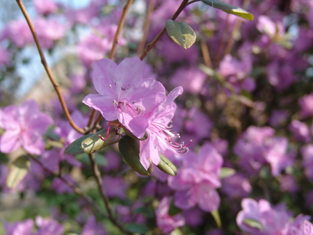 Beautiful pink Rhododendron in spring Stock Photo