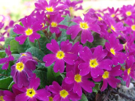 polyanthus: Perennial primrose or primula in the spring garden. Spring primroses flowers, primula polyanthus. Purple primroses in spring woods. Primroses in spring. The beautiful colors primrose flowers garden.