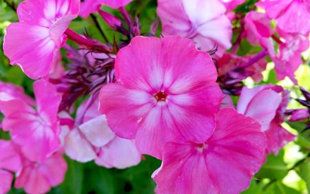 hybrida: Beautiful purple Petunias Petunia hybrida in garden soft focus