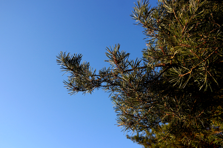 Pine branch on a background of blue sky