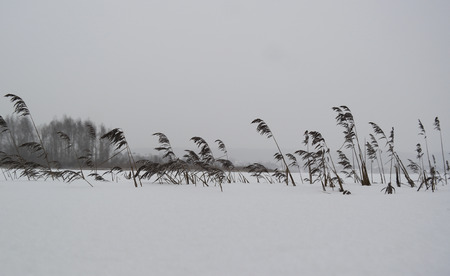 Dried cattails covered with snow and fir tree forest on the other shore of a frozen lake.