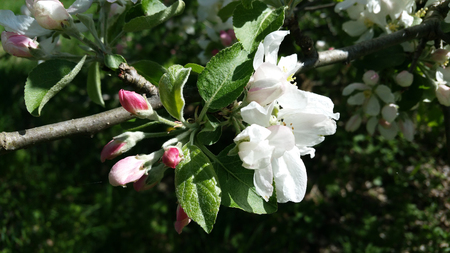 Apple trees flowers. the seed-bearing part of a plant, consisting of reproductive organs (stamens and carpels) that are typically surrounded by a brightly coloured corolla (petals)