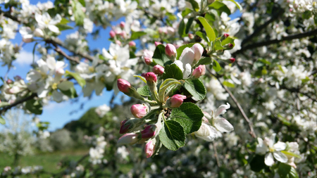 Apple trees flowers. the seed-bearing part of a plant, consisting of reproductive organs stamens and carpels that are typically surrounded by a brightly coloured corolla petals