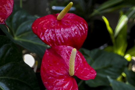 Close up of Red Anthurium flower
