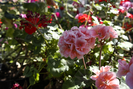 Numerous bright flowers of tuberous begonias