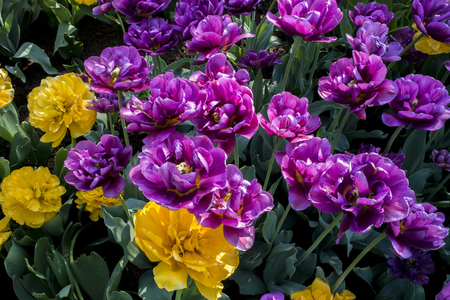 Tulip Flower. Beautiful bouquet of tulips. colorful tulips. tulips in spring at the garden,colorful tulip,Nature background. Imagens