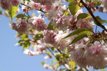 Beautiful cherry blossom Imagens