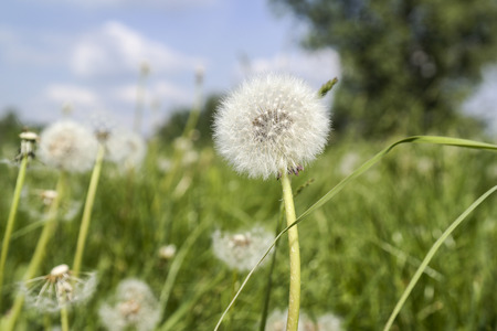 Lot of dandelions close-up on nature in spring against backdrop of summer house