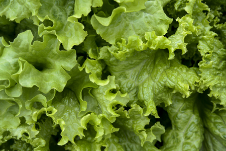 fresh green oak lettuce with water drops in oraganic farm
