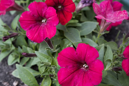 Brightly red cone-shaped flowers of Spreading Petunia Petunia hybrida . Imagens