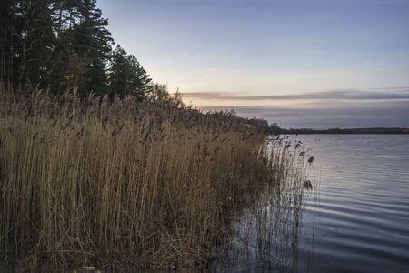 Dry yellow beautiful reeds on the lake. Landscape on the lake. Reklamní fotografie