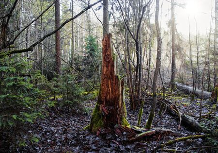 Old tree stump in woodland, covered with moss and leaf. Stump in the autumn forest...