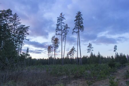 A panoramic picture of a dark forest with a straight pine tree. European travel