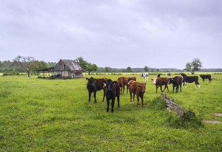 Curious cows grazing in green the field. Europe.