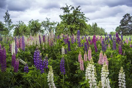 Purple and pink garden lupin wildflowers in East Europe Imagens