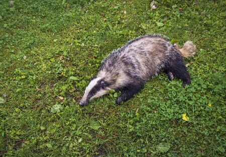 Badger, lying on his site, died after a accident Imagens