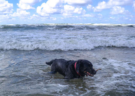 Black labrador dog running towards camera in the sea carrying a ball Imagens