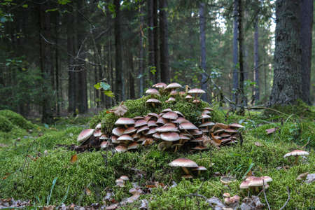armillaria ostoyae solidipes mushroom cluster in the forest. Autumn in the forest
