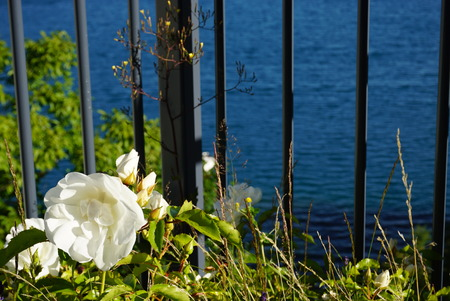 forefront: Beautiful white old-fashioned garden roses in the forefront of a lake