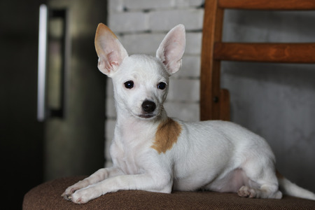 short haired: Portrait of white short haired Chihuahua with orange spot lies on a chair