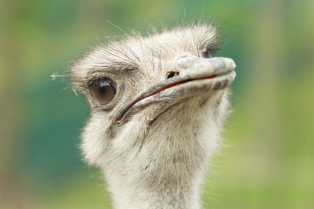zoo animals: closeup of a male ostrich watching into the camera