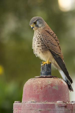 crap: kestrel sits on a hydrant and takes a crap Stock Photo